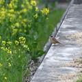 菜の花ホオジロ