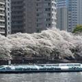 Photos: 桜ホタルナ
