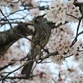 桜ヒヨドリ