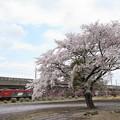 桜咲く宇都宮線を行く金太郎牽引94レ
