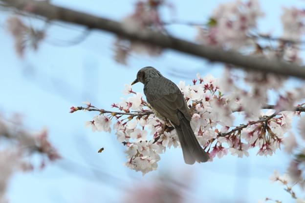 桜にヒヨドリと蜂