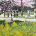 Photos: 桜ふぶき