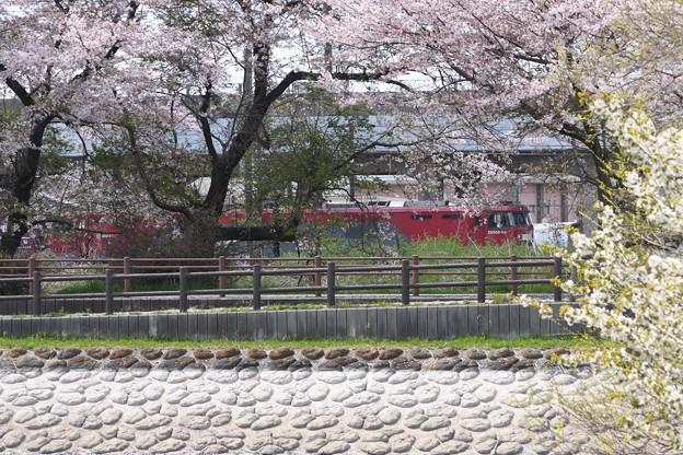 桜並木と金太郎