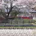 Photos: 桜並木と金太郎