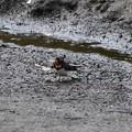 Photos: 巣材くわえるツバメ