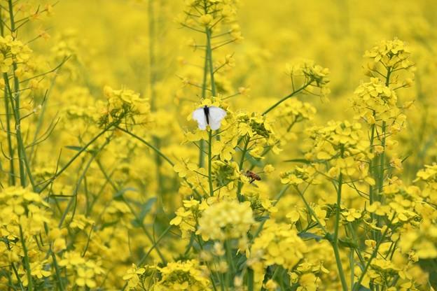 菜の花に蝶と蜂