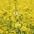 Photos: 菜の花に蝶と蜂