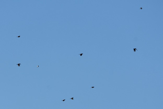 上空にふわふわカケスの群れ