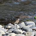 Photos: 河原にイソシギ