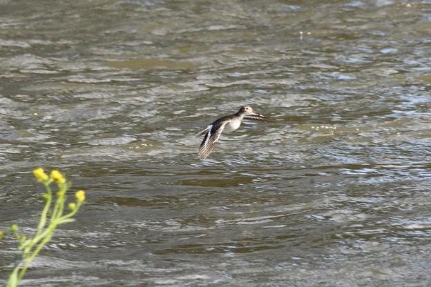 春の川面にイソシギの飛翔