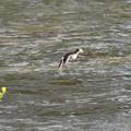 Photos: 春の川面にイソシギの飛翔