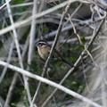 Photos: 藪にとまるホオジロ(雌)