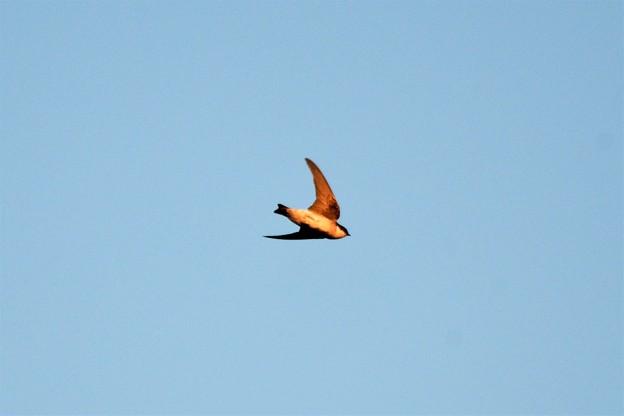 夕陽浴びて飛ぶイワツバメ