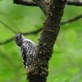 コゲラ幼鳥かな