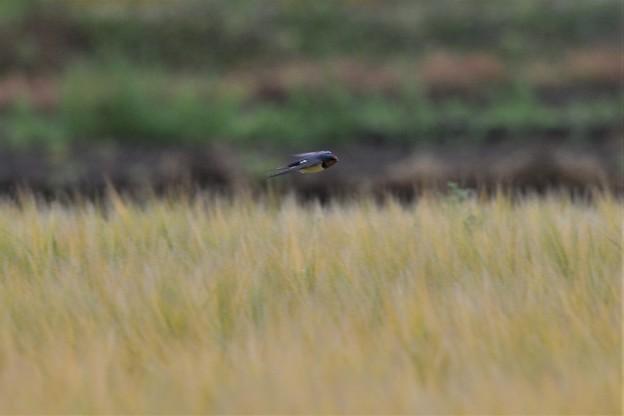 麦畑を飛ぶツバメ