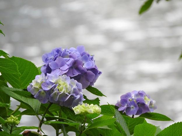 河畔の紫陽花