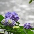 Photos: 河畔の紫陽花