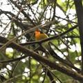 Photos: 高い枝にキビタキ
