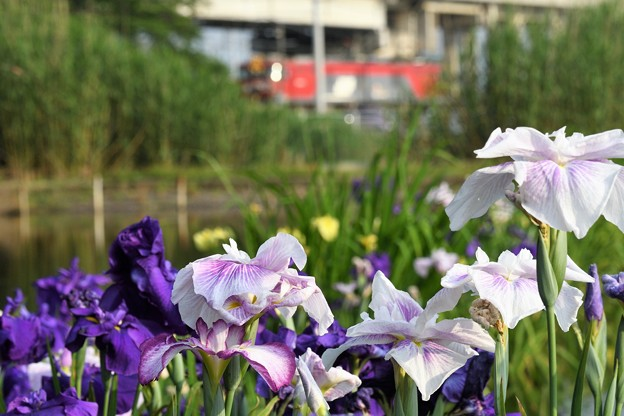 菖蒲咲く沿線