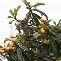 Photos: 実るビワの木に