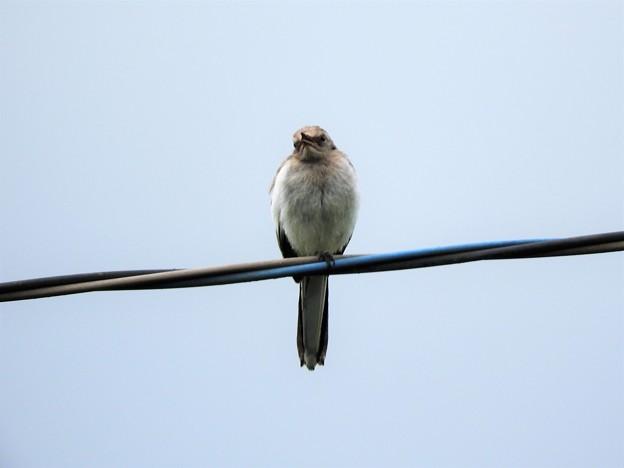 Photos: ハクセキレイ幼鳥?