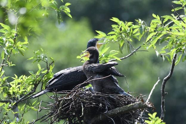 カワウ幼鳥