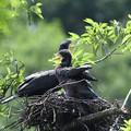 Photos: カワウ幼鳥
