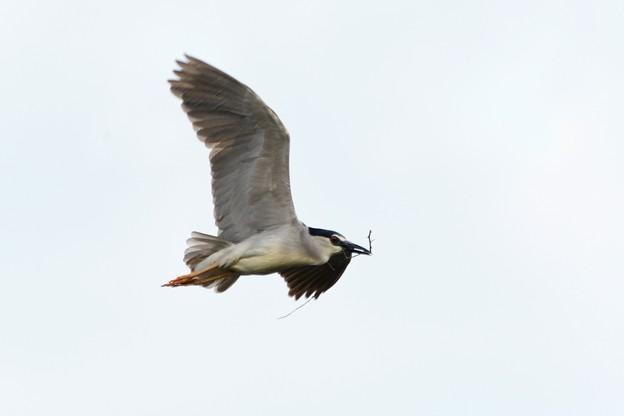 Photos: 巣材をくわえて飛ぶゴイサギ成鳥