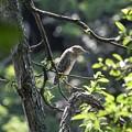 枝にとまるホシゴイ(ゴイサギ幼鳥)
