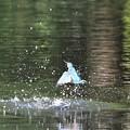 Photos: 水面から飛び出すカワセミ