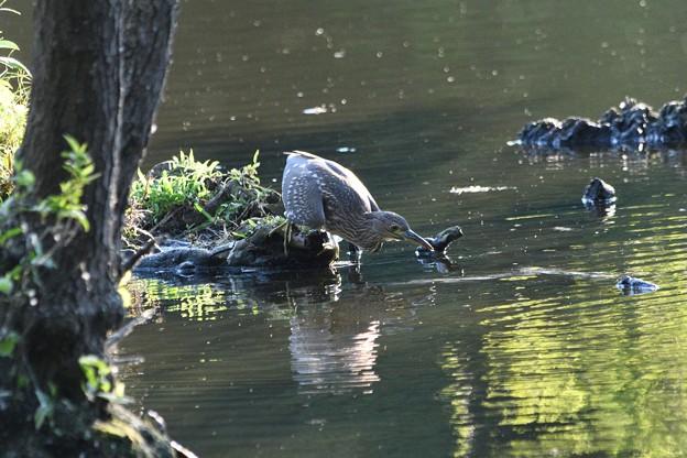 Photos: 獲物を探すホシゴイ