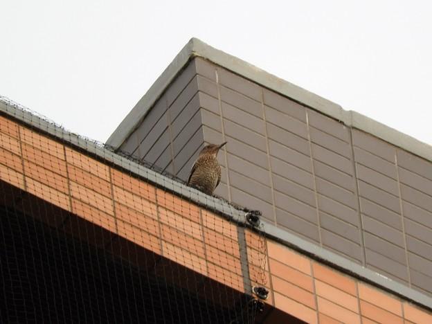 駅前ビル屋上にイソヒヨドリ