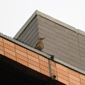 Photos: 駅前ビル屋上にイソヒヨドリ