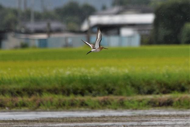 オグロシギ飛翔
