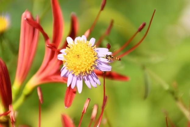 小さい花に飛ぶ小さい虫