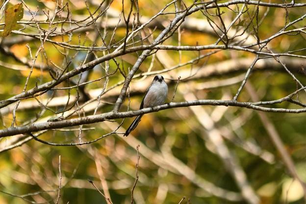 秋色の林にエナガ