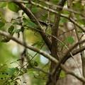 Photos: 青い実くわえるコゲラ