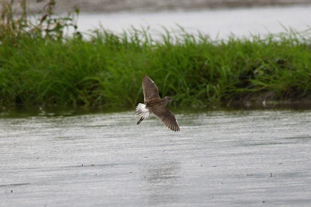 休耕田を飛ぶタカブシギ