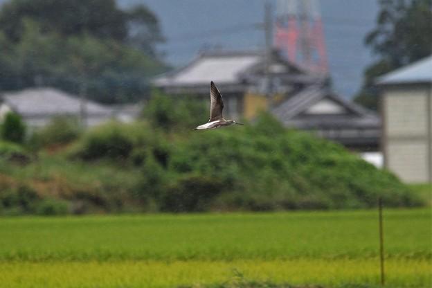小雨のなかを飛ぶアオアシシギ