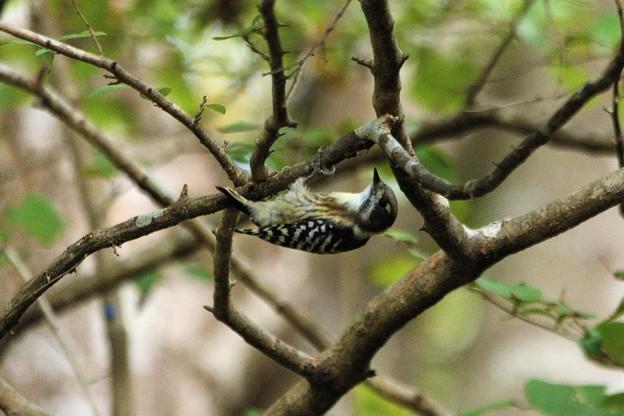 逆さに枝につかまるコゲラ
