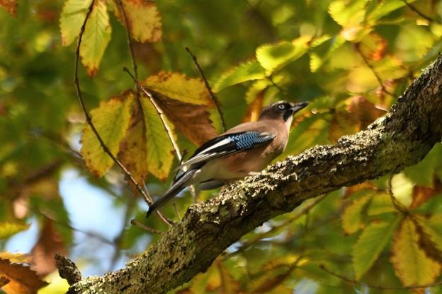秋色の林にカケス