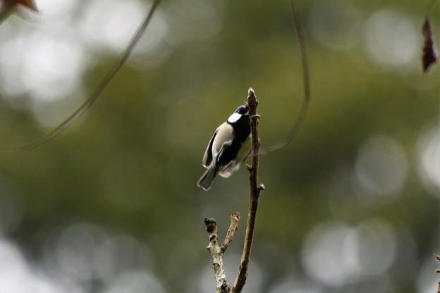 新芽の枝に飛び移るシジュウカラ
