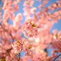 Photos: 河津桜