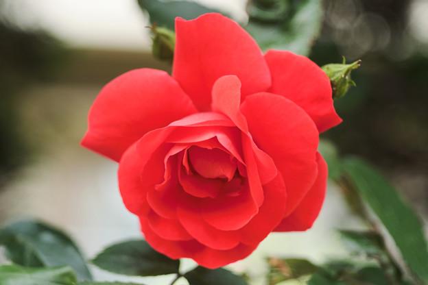 ご近所のバラ