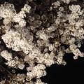 Photos: 夜桜 2