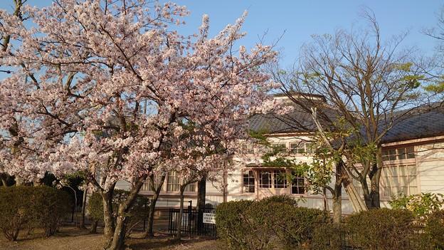 桜というタイムマシン