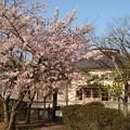 Photos: 桜というタイムマシン