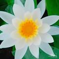 Photos: 水の花びら