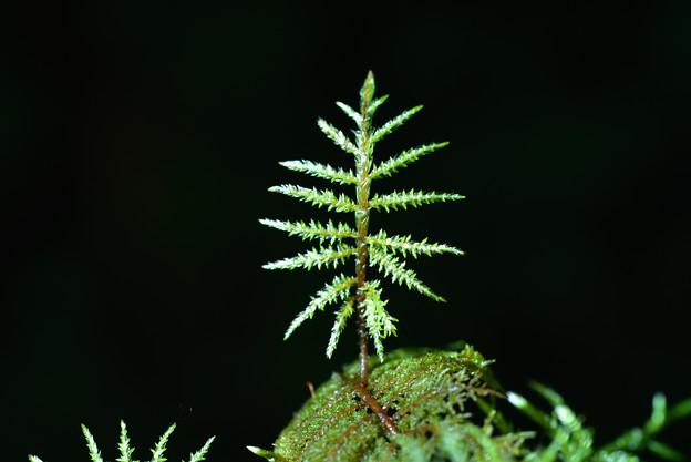 シラビソの若芽