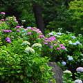 210530_03A_紫陽花咲く・RX10M3(多摩川台) (597)